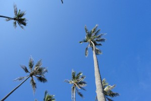 Phuket-hotel-palmtrees
