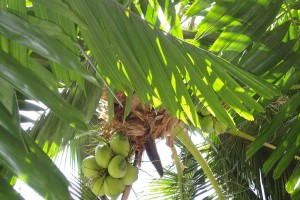 Coconut-palm-tree-phuket-island